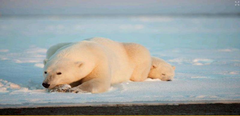 可爱的北极熊母子